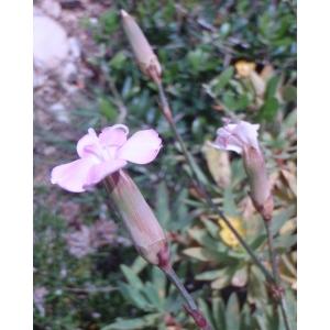 Dianthus arrostoi C.Presl