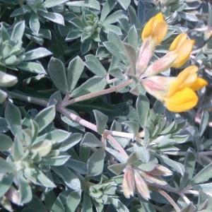 Photographie n°48689 du taxon Lotus cytisoides subsp. conradiae Gamisans