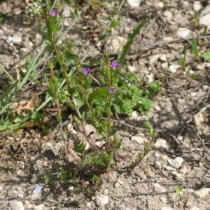 Photographie n°48694 du taxon Legousia hybrida (L.) Delarbre [1800]