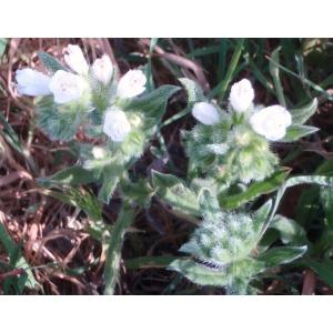 Echium sabulicola Pomel (Vipérine marine)
