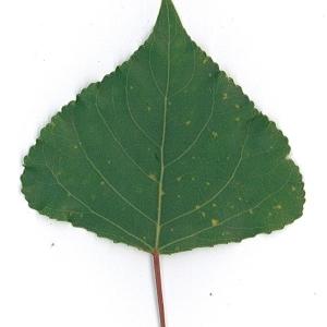 Photographie n°48743 du taxon Populus nigra L.