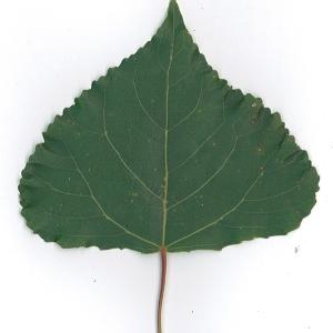 Photographie n°48744 du taxon Populus nigra L.