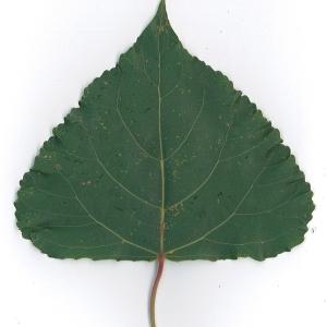 Photographie n°48745 du taxon Populus nigra L.