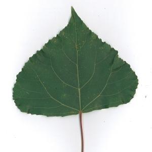 Photographie n°48748 du taxon Populus nigra L.
