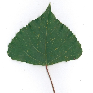 Photographie n°48749 du taxon Populus nigra L.