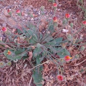 Photographie n°48778 du taxon Seriola aethnensis L.