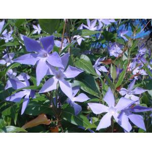 Vinca difformis subsp. sardoa Stearn [1972]