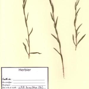 Photographie n°48875 du taxon Achillea ptarmica L.