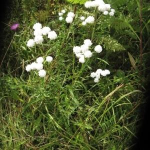 Photographie n°48876 du taxon Achillea ptarmica L.
