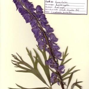 Photographie n°48878 du taxon Aconitum napellus L.