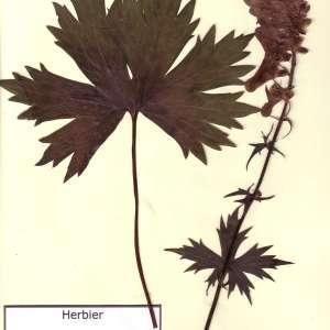 - Aconitum lycoctonum subsp. vulparia (Rchb.) Ces.