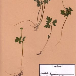 Photographie n°48882 du taxon Adoxa moschatellina L. [1753]