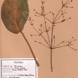 Photographie n°48889 du taxon Alisma plantago-aquatica L. [1753]