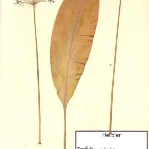 Photographie n°48896 du taxon Allium ursinum L. [1753]
