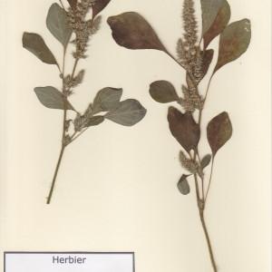 Photographie n°48900 du taxon Amaranthus hybridus L. [1753]