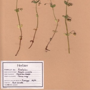 Photographie n°48905 du taxon Lysimachia arvensis (L.) U.Manns & Anderb. [2009]