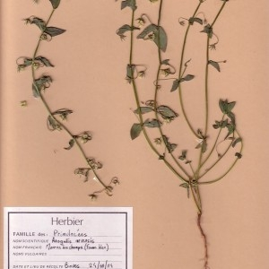 Photographie n°48906 du taxon Lysimachia foemina (Mill.) U.Manns & Anderb.