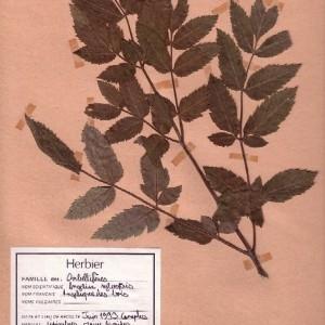 Photographie n°48913 du taxon Angelica sylvestris L.