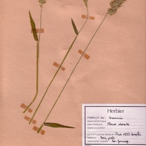 Photographie n°48914 du taxon Anthoxanthum odoratum L. [1753]