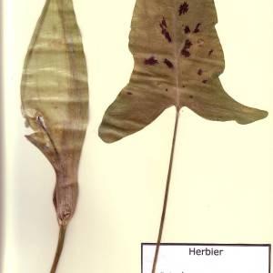 Photographie n°48935 du taxon Arum maculatum L. [1753]
