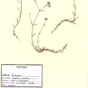 Photographie n°48937 du taxon Asperula cynanchica L.