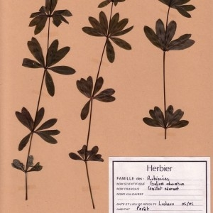 Photographie n°48938 du taxon Galium odoratum (L.) Scop. [1771]