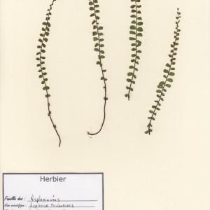 Photographie n°48940 du taxon Asplenium trichomanes L. [1753]