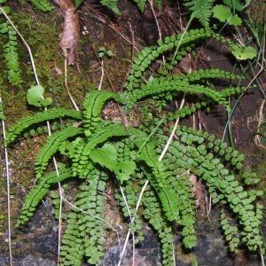 Photographie n°48941 du taxon Asplenium trichomanes L. [1753]