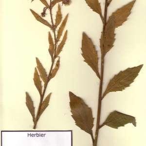Photographie n°48942 du taxon Erigeron annuus (L.) Desf. [1804]