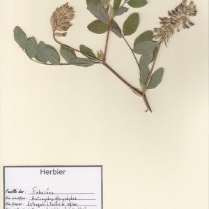 Photographie n°48945 du taxon Astragalus glycyphyllos L. [1753]
