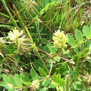 Photographie n°48946 du taxon Astragalus glycyphyllos L. [1753]