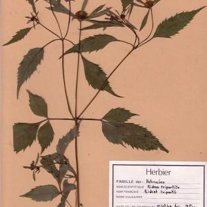 - Bidens tripartita L. [1753]