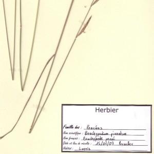 Photographie n°48965 du taxon Brachypodium pinnatum (L.) P.Beauv. [1812]