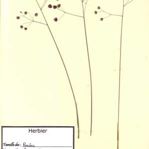 Photographie n°48967 du taxon Briza media L. [1753]