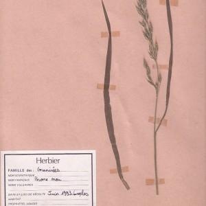Photographie n°48969 du taxon Bromus mollis L.