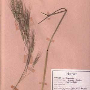 Photographie n°48970 du taxon Anisantha sterilis (L.) Nevski [1934]
