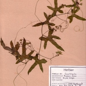 Photographie n°48971 du taxon Bryonia dioica Jacq. [1774]