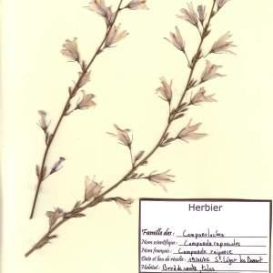 Photographie n°48983 du taxon Campanula rapunculus L.