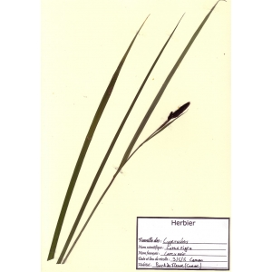 Carex stolonifera subsp. vulgaris (Fr.) O.Schwarz (Laiche brune)