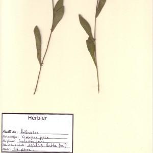 Photographie n°49018 du taxon Centaurea jacea L. [1753]