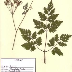 Photographie n°49031 du taxon Chaerophyllum temulum L. [1753]