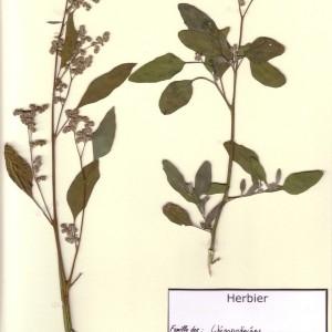 Photographie n°49035 du taxon Chenopodium album L.