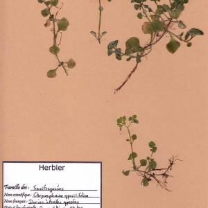 Photographie n°49036 du taxon Chrysosplenium oppositifolium L.