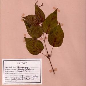 Photographie n°49037 du taxon Circaea lutetiana L. [1753]