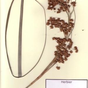 Photographie n°49051 du taxon Cladium mariscus (L.) Pohl