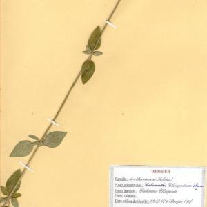 Photographie n°49057 du taxon Clinopodium vulgare L. [1753]