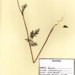 Photographie n°49066 du taxon Conopodium majus (Gouan) Loret
