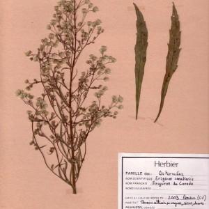Photographie n°49074 du taxon Erigeron canadensis L. [1753]
