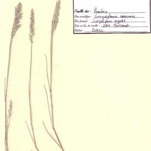 Photographie n°49081 du taxon Corynephorus canescens (L.) P.Beauv.