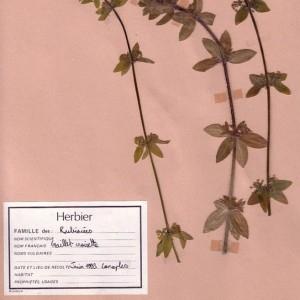 Photographie n°49089 du taxon Cruciata laevipes Opiz [1852]